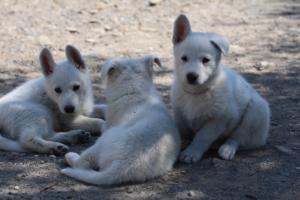 White-Swiss-Shepherd-Puppies-BTWW-I-Litter-140419-0151