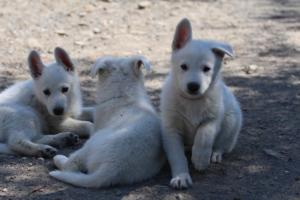 White-Swiss-Shepherd-Puppies-BTWW-I-Litter-140419-0152