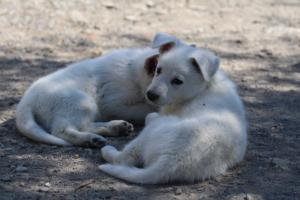 White-Swiss-Shepherd-Puppies-BTWW-I-Litter-140419-0153