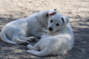 White-Swiss-Shepherd-Puppies-BTWW-I-Litter-140419-0154
