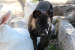 White-Swiss-Shepherd-Puppies-BTWW-I-Litter-140419-0163