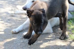 White-Swiss-Shepherd-Puppies-BTWW-I-Litter-140419-0164