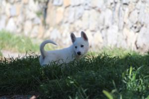 White-Swiss-Shepherd-Puppies-BTWW-I-Litter-140419-0165
