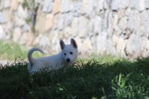 White-Swiss-Shepherd-Puppies-BTWW-I-Litter-140419-0166