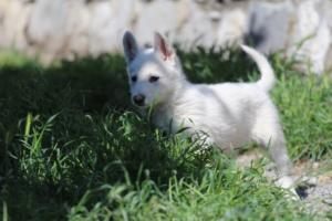 White-Swiss-Shepherd-Puppies-BTWW-I-Litter-140419-0167