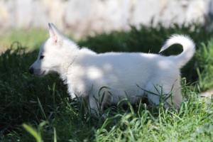 White-Swiss-Shepherd-Puppies-BTWW-I-Litter-140419-0168