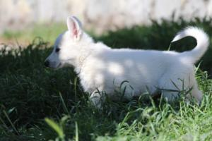 White-Swiss-Shepherd-Puppies-BTWW-I-Litter-140419-0169