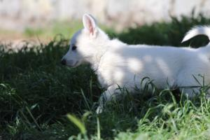 White-Swiss-Shepherd-Puppies-BTWW-I-Litter-140419-0170
