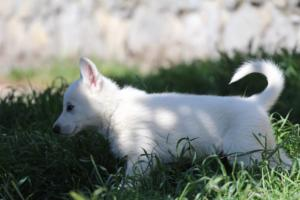 White-Swiss-Shepherd-Puppies-BTWW-I-Litter-140419-0171