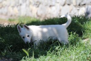 White-Swiss-Shepherd-Puppies-BTWW-I-Litter-140419-0172