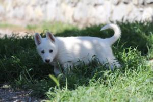 White-Swiss-Shepherd-Puppies-BTWW-I-Litter-140419-0173