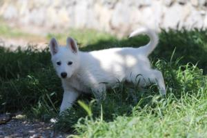 White-Swiss-Shepherd-Puppies-BTWW-I-Litter-140419-0174
