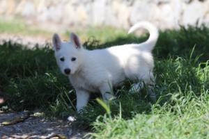 White-Swiss-Shepherd-Puppies-BTWW-I-Litter-140419-0175