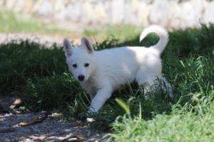 White-Swiss-Shepherd-Puppies-BTWW-I-Litter-140419-0176