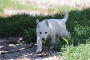 White-Swiss-Shepherd-Puppies-BTWW-I-Litter-140419-0177