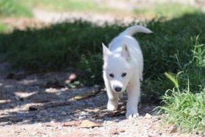 White-Swiss-Shepherd-Puppies-BTWW-I-Litter-140419-0178