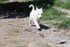 White-Swiss-Shepherd-Puppies-BTWW-I-Litter-140419-0179