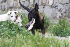 Puppies-Malinois-White-Shepherd-20190092