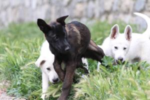 Puppies-Malinois-White-Shepherd-20190095