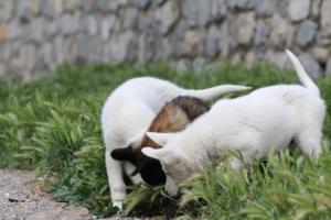 Puppies-Malinois-White-Shepherd-20190101