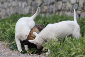 Puppies-Malinois-White-Shepherd-20190102