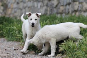 Puppies-Malinois-White-Shepherd-20190103
