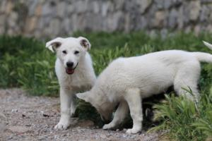 Puppies-Malinois-White-Shepherd-20190104