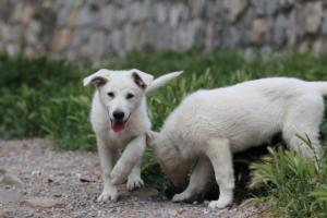 Puppies-Malinois-White-Shepherd-20190105