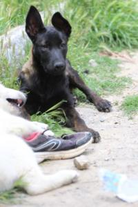 Puppies-Malinois-White-Shepherd-20190109