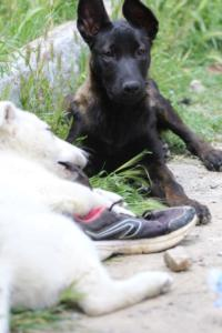 Puppies-Malinois-White-Shepherd-20190110