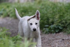 White-Swiss-Shepherd-Puppies-BTWWI-May-2019-0011