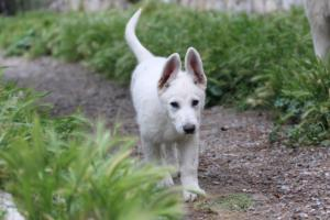 White-Swiss-Shepherd-Puppies-BTWWI-May-2019-0012