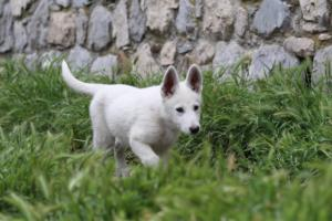 White-Swiss-Shepherd-Puppies-BTWWI-May-2019-0014