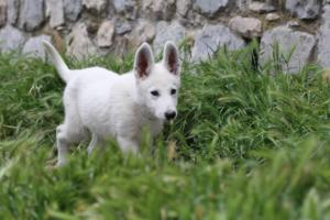White-Swiss-Shepherd-Puppies-BTWWI-May-2019-0015