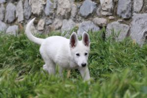 White-Swiss-Shepherd-Puppies-BTWWI-May-2019-0016