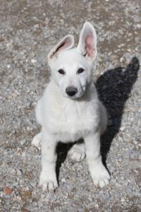 White-Swiss-Shepherd-Puppies-BTWWI-May-2019-0018