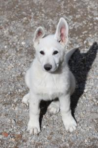 White-Swiss-Shepherd-Puppies-BTWWI-May-2019-0019