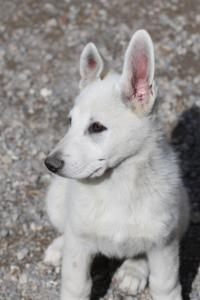 White-Swiss-Shepherd-Puppies-BTWWI-May-2019-0020