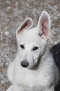 White-Swiss-Shepherd-Puppies-BTWWI-May-2019-0021