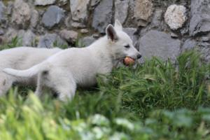 White-Swiss-Shepherd-Puppies-BTWWI-May-2019-0022