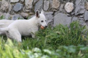 White-Swiss-Shepherd-Puppies-BTWWI-May-2019-0023