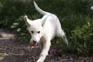 White-Swiss-Shepherd-Puppies-BTWWI-May-2019-0024