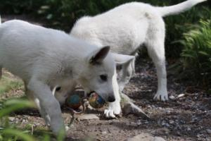 White-Swiss-Shepherd-Puppies-BTWWI-May-2019-0027
