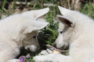White-Swiss-Shepherd-Puppies-BTWWI-May-2019-0028