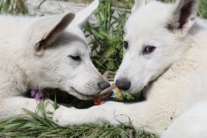 White-Swiss-Shepherd-Puppies-BTWWI-May-2019-0029
