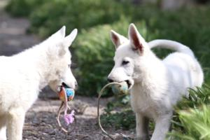 White-Swiss-Shepherd-Puppies-BTWWI-May-2019-0030