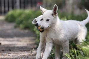 White-Swiss-Shepherd-Puppies-BTWWI-May-2019-0032