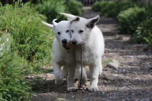 White-Swiss-Shepherd-Puppies-BTWWI-May-2019-0033