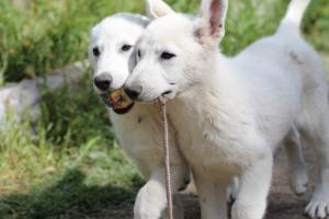 White-Swiss-Shepherd-Puppies-BTWWI-May-2019-0035