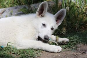 White-Swiss-Shepherd-Puppies-BTWWI-May-2019-0036
